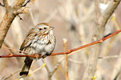 Song Sparrow. Perched on tree branch in a natural habitat Stock Photography