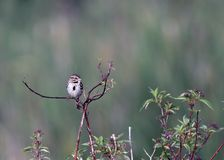 Song Sparrow perched on tree branch. A Song Sparrow perched on a tree branch singing into the morning air Royalty Free Stock Images