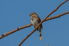 Song Sparrow. Perched on a tree limb Royalty Free Stock Image