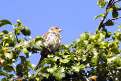 A Song Sparrow. Perched on a tree surrounded by green leaves against a blue sky Stock Photo