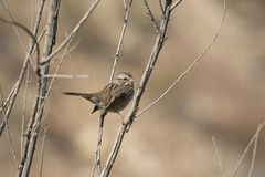Song Sparrow Perched Between Two Branches in Winter in the Great Basin Desert of Utah. Song Sparrow Melospize melodia Perched Between Two Branches in Winter in stock photo