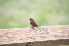 A song sparrow perched on a wooden fence. With a grass meadow in the background Stock Photos