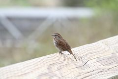 A song sparrow perched on a wooden fence. With a grass meadow in the background Royalty Free Stock Image