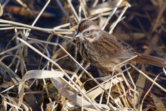 Song Sparrow. A Song Sparrow perches on dead grass on the shoreline of a pond in winter Royalty Free Stock Photo