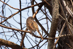 Song Sparrow. Perching in a tree in Warren, Rhode Island Royalty Free Stock Image
