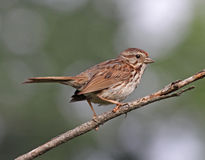 Song Sparrow Portrait Royalty Free Stock Image