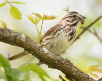 Song Sparrow with Prey. A Song Sparrow Melospiza melodia with caterpillar prey to feed to young royalty free stock image