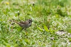 Song Sparrow. A song sparrow searching the grass for food Royalty Free Stock Photos
