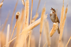 Song Sparrow Singing. Song sparrow in full song while perched among cattails in Montana wetland stock images