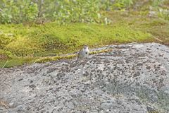 Song Sparrow Singing on a Bare Rock Stock Photos