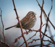 A song sparrow singing on a foggy day at the top of its lungs wi. Th an instagram filter stock images