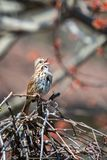 Song sparrow singing on a grapevine. On a spring day Royalty Free Stock Image