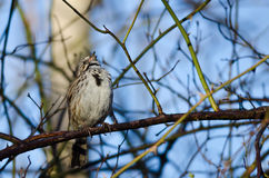 Song Sparrow Singing Its Heart Out. While Perched in a Tree Royalty Free Stock Images