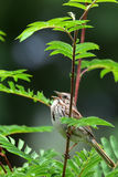 Song sparrow singing. Singing song sparrow perched on birch tree branch stock photos