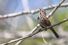 Song Sparrow Singing. Singing song sparrow perched on a branch royalty free stock photos