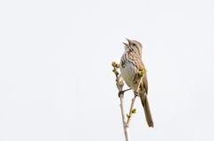 Song Sparrow singing. Song sparrow perched on tree branch singing royalty free stock images