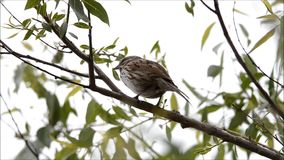 Song Sparrow Singing stock video footage