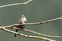 Song sparrow singing. Small song sparrow iperched on a branch is singing near Harrison, Idaho stock image