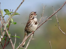 Song Sparrow. The singing of the Song Sparrow in spring Royalty Free Stock Image
