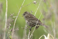 Song sparrow singing on a twig. Song sparrow melospiza melodia perched on a twig by Hauser Lake, Idaho Royalty Free Stock Photo