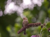 Song Sparrow Sitting on the the flowers_7-18-18, Portland OR USA. Beautiful Song Sparrow perched in wildflowers_7-18-18, Portland OR USA stock photos