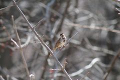 Song Sparrow. Perched on branch in early spring Stock Photos