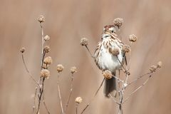 Song Sparrow. A Song Sparrow sings a spring song while perched on some dried seed stalks Stock Photography