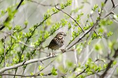 Song Sparrow songbird in budding tree in spring, Georgia USA. Song Sparrow, Melospiza melodia, perched in tree with budding leaves in spring. Photographed in Royalty Free Stock Photography