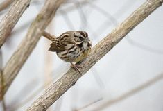 Song Sparrow songbird perched in tree, Monroe, Georgia, USA. Song Sparrow, Melospiza melodia, perched on branch singing. Song Sparrow is one of the most familiar stock photography
