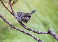 Song Sparrow. Spotted in San Francisco, California Royalty Free Stock Photos