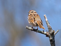Song Sparrow. Standing on a branch stock images