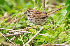 Song Sparrow Stock Photos