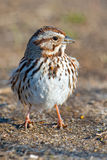 Song Sparrow. Standing on the ground Royalty Free Stock Images