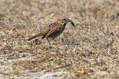 Song Sparrow. Standing on the ground holding a leech royalty free stock images