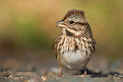 Song Sparrow. Standing on a path with a kernel of corn in its beak Royalty Free Stock Images