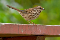 Song Sparrow. Standing on a picnic table Stock Photography