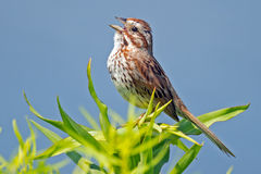 Song Sparrow. Standing in tree singing Stock Photography