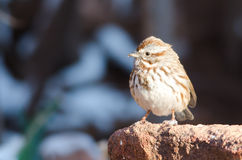 Song Sparrow on stone. Song sparrow (Melospiza melodia) staning on stone Stock Images