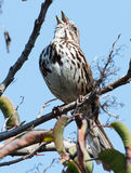 Song Sparrow in tree singing Stock Photo