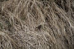 A song sparrow waiting in the dead grass. In a meadow Stock Photography