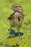 Song Sparrow. Walking in moss Royalty Free Stock Photography