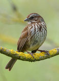 Song Sparrow. A wild Song Sparrow perched on a tree branch royalty free stock photos