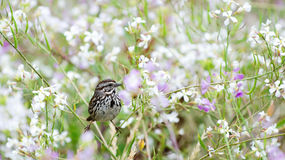 Song Sparrow in Wild Radish. A Song Sparrow (Melospiza melodia) perches in a field of blooming Wild Radish (Raphanus raphanistrum). Taken in the Presidio of San Royalty Free Stock Photography