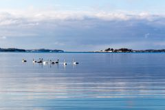 Song swans. Winter reflections on sea Stock Image