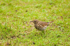 Song Thrush Royalty Free Stock Photos