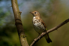 Song Thrush. (Turdus philomelos) sitting on a branch Royalty Free Stock Image