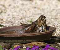 Song Thrush. A male Song Thrush enjoying a cooling bath Royalty Free Stock Photos