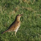 Song thrush. A song thrush collecting worms for its nestlings Stock Image