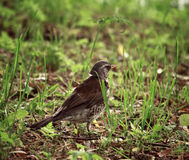 Song Thrush. Small song thrush in grass at day royalty free stock photography