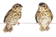 Song thrush. Two song thrush  on a white background Stock Images